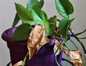 Dying Leaves on a Pothos Houseplant